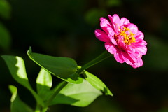 Zinnie (ivlys) Tags: darmstadt minigarden garten zinnie zinnia blume flower blüte blossom licht light dunkel dark farbe colour natur nature makro macro ivlys