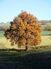 Turning Tree (paidetres) Tags: heaverham kent walk tree turning yellow autumn