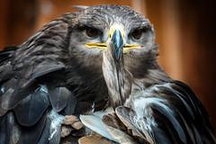 Federreinigung (Roman Achrainer) Tags: greifvogel vogel feder tier natur achrainer