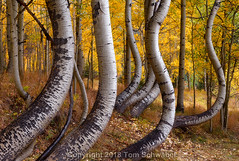 Warped Reality (pdxsafariguy) Tags: colorado autumn aspen fall nature forest telluride landscape foliage tree usa yellow leaves grove aspens trunk bark grass curved bent curvy tomschwabel
