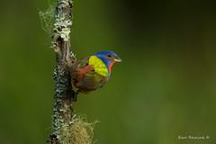 The color king. (Earl Reinink) Tags: bird animal color bunting paintedbunting paint earl reinink earlreinink reiajipdza