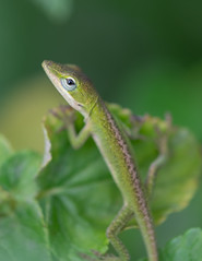 Green Gecko (billcoo) Tags: xf80mm bokeh lizard nature xt2 reptile