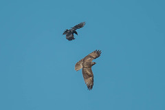 Red-tailed Hawk (Buteo jamaicensis) pursued by American Crow (Corvus brachyrhynchos) (byjcb) Tags: crow birds hawk sparks nevada unitedstates us