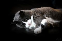 Nounou (Mariie76) Tags: chat chartreux européen gouttière drôle jeu fun gros yeux mignon