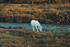 Horse @ Kriva Reka, Kriva Palanka, Macedonia (Robert Krstevski) Tags: robertkrstevski horse horses white krivapalanka kriva reka river riversbank water explore travel europe balkan animal animals cute grass autumn autumn2018 nature landscape landscapes macedonia коњ коњи река tree field