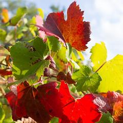 Feuilles de vigne colorées, rouge, vert, jaune (Nicolas PERDU) Tags: fronton chateau bel air vignes automne amateur vine raisin vendange macro canon 5d mark 3 pied cep vignoble nature