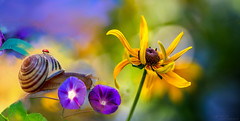 Snail&flower (G.LAI(on and off ,)) Tags: snail flower morning glory purple conflower yellow
