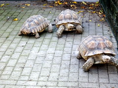 born_059 (OurTravelPics.com) Tags: born tortoises kasteelpark zoo