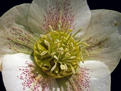 Cream Hellebore 2 (Cornishcarolin. Stupid busy!! xx) Tags: cornwall httpswwwnationaltrustorguktrelissick nature flowers hellebore anthers
