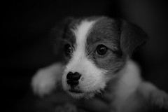 First Shot (moaan) Tags: osaka japan jp dog doggy puppy bw monochrome blackandwhitephotography bokeh bokehphotography canon canonphotography innocent innocencestface canoneos5dmarkiii zeissmakroplanart2100ze utata 2018 makroplanart2100 jackrussellterrier kinoko