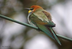 European Bee-eater (Abey22) Tags: 141018