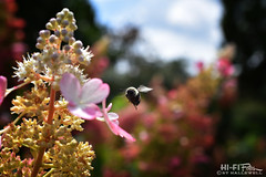 Flight of the Bumble Bee (Hi-Fi Fotos) Tags: bee insect flight wings flying bug outdoor garden flowers nature buds pollen bokeh nikkor 40mm micro macro buzz nikon d7200 dx hififotos hallewell