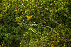 7K8A8070 (rpealit) Tags: scenery wildlife nature state line lookout bald eagle bird