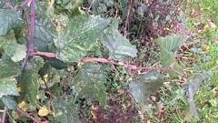 Field elm - branch & leaves - October 2018 (Exeter Trees UK) Tags: field elm branch leaves october 2018