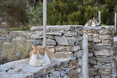 fullsizeoutput_90c3 (lnewman333) Tags: sifnos siphnos greece europe cyclades aegeansea faros island beach apokoftobeach cat tabby straycat feline