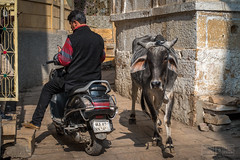 Two Way Traffic (shapeshift) Tags: 50mm in alley alleys alleyways asia candidphotography cityanimals cow davidpham davidphamsf documentary holycow india jaisalmer man motorcycle people rajasthan shapeshift shapeshiftnet southasia street streetphotography travel urbananimals d5600 nikon traffic