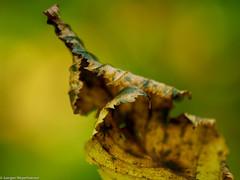 Macro Mondays - Crinkled, Wrinkled, Folded or Creased (J.Weyerhäuser) Tags: wabisabi hmm macromondays oberolmerwald crinkledwrinkledfoldedorcreased samyang 100mm f28 blatt leaf autumn herbst
