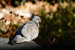 Contemplative (leftyguk) Tags: canon760d canon55250mm woodpigeon