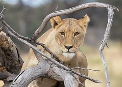 Female subadult lion (sbuckinghamnj) Tags: lion botswana africa