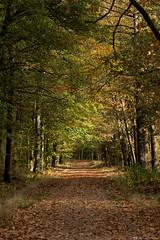 (CarolienCadoni..) Tags: sal2470z 2470mmf28zassm sonyilcaa99m2 sony forest autumn autumncolors light autumnlight beautifulearth trees drenthe netherlands