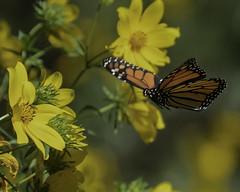 MonarchButterfly_SAF7606 (sara97) Tags: danausplexippus butterfly copyright©2018saraannefinke endangered insect missouri monarch monarchbutterfly nature photobysaraannefinke pollinator saintlouis flight inflight