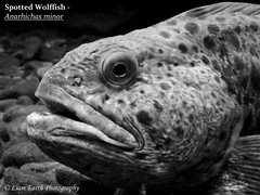 Spotted Wolffish - Anarhichas minor (liamearth) Tags: common fish ichthyology water spinner spoon lure fishing angling animal wildlife species outdoor fins bw worm hook earth sport black body scales blackandwhite monochrome dorsal abstract artistic mouth eye portrait blackbackground rounded fishportrait fishart sea ocean marine bait predator norway atlantic macro food sand european rock demersal spotted wolffish anarhichas minor catfish leopardfish