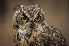 Great Horned Owl (Jon David Nelson) Tags: greathornedowl bubovirginianus owls raptors birdsofprey highdesert centraloregon thehighdesertmuseum bendoregon