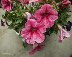 2678  Flores (Ricard Gabarrús) Tags: flores naturaleza natura jardin botanica ricardgabarrus olympus ricgaba