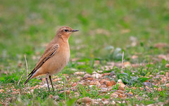 Wheatear (Tony Smith Photo's) Tags: bird birds colour feathers isolated natural nature outdoors songbird wild wildlife animal beautiful birding birdwatching blurredbackground environment feather greenbackground northernwheatear oenanthe oenantheoenanthe one oneanimal ornithology outdoor passerine sideview sitting small wheatear