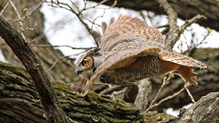 Great Horned Owl Fly-By (AmyEHunt) Tags: greathornedowl owl raptor bird animal wildlife wild tree flight nature forestpreserve