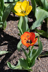 Bee on a tulip (i-lenticularis) Tags: k1 smcsupertakumar85f18 altlens bee croppedimage manuallens nature tulip pentax flower