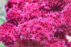 Tuesday textures (LUMEN SCRIPT) Tags: macro flower garden park pink colours vivid textures softness