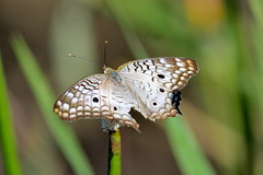 Anartia jatrophae, White Peacock (Oleg Nomad) Tags: anartiajatrophae whitepeacock насекомые бабочка чешуекрылые insects butterfly bolivia america travel