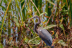 Tri-colored Heron Hunting (Les Greenwood Photography) Tags: heron tricolored bird wildife blue viera florida woods water huntiung hunting