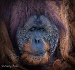 Aware (JKmedia) Tags: chesterzoo primates animals captive 2018 sonyrx10iii orangutan male hairy cheeks