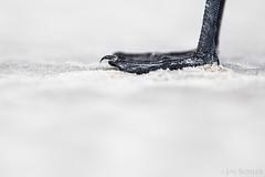 Skua (jansohler) Tags: bonxie deutschland europa fauna greatskua jaegers möwenartige nichtsperlingsvögel nordfriesland raubmöwen spo schleswigholstein skua skuas stpeterording stercorariusskua vögel westküste wirbeltiere