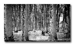 DAY 283. Trees in monochrome (Small and Beautiful) Tags: monochrome digital art d3100 nikon bokeh bark