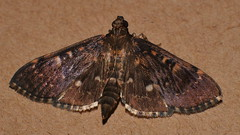 Sooty Bead chain moth Syllepte sp Spilomelinae Crambidae Airlie Beach Rainforest P1430455 (Steve & Alison1) Tags: sooty bead chain moth sp airlie beach rainforest syllepte spilomelinae crambidae