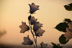 June in the Garden (Mark Wordy) Tags: mygarden flowers summer campanula sillouhette sunset