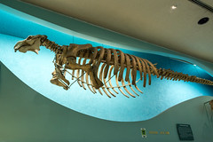 180324 Washington-18.jpg (Bruce Batten) Tags: animals businessresearchtrips dinosaurs locations mammals marine museums occasions reptiles subjects trips usa vertebrates washingtondc