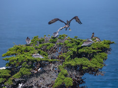Pelican Battle (Tyson Poeckh) Tags: pelican bite birds monterey cypress ocean big sur california point lobos wildlife nikon d850