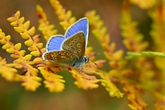 Common Blue (Polyommatus icarus) (Andrew Cooper Photography) Tags: outside foliage sunny season macro macrophotography autumn butterfly butterflies beautiful closeup colourful insect leaf leaves light nature natural naturephotography new orange photography photooftheday pattern texture uk vivid wildlife wildlifephotography wild yellow brown blue dof golden woods