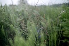 Bokeh-y, flare-y grass (elkarrde) Tags: nature landscape grass spring clouds bokeh dof meadow grassland city zagreb bokehlicious croatia depthoffield sunny sun location:country=croatia canon canonae1 ae1 fdmount camera:brand=canon camera:model=ae1 camera:type=slr camera:format=135 camera:mount=fd tamronadaptall224mmf2501bb tamron 24mm 2425 tamronsp adaptall ad2 tamronadaptall2 adaptall201bb 01bb adaptall2 lens:brand=tamron lens:model=adaptall201bb24mm125 lens:maxaperture=25 lens:focallength=24mm lens:mount=fd lens:format=135 lens:mount=adaptall2 filmneverdieiro200 filmneverdie iro200 200asa dmparadies200 film:brand=filmneverdie film:model=iro200 film:format=135 film:type=c41 film:sensitivity=200asa film:manufacturer=fujifilm lens:manufacturer=tamron scanner:software=vuescanx6495 c41 colornegativefilm filmisnotdead filmisalive scanner:brand=plustek scanner:model=opticfilm8100 analoguephotography analogphotography filmphotography analogue film plustek opticfilm8100 plustekopticfilm8100 vuescanx6495