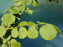 Tilia sp. Malvaceae Tilioideae (Tiliaceae) - linden 5 (SierraSunrise) Tags: switzerland europe interlaken plants trees tiliaceae linden malvaceae tilioideae