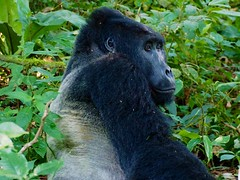 Silverback (Carol Griffiths) Tags: uganda gorillas silverback safari