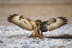 Common Buzzard (peterspencer49) Tags: peterspencer peterspencer49 buzzard commonbuzzard hawk raptor birdofprey bird winter snow poland