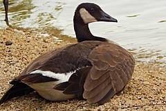 Canadian goose on the Assiniboine Riverbank (Pwern2) Tags: manitoba prairies prairiegrass canada nature flora fauna flat canadiangoose geese assiniboine assiniboineriver winnipeg thepeg toba riverbank