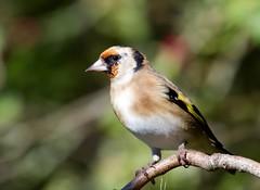 Goldfinch (Carduelis carduelis) - Taken at Summer Leys Nature Reserve, Nr Wollaston, Northants. UK. (Ian J Hicks) Tags: