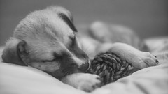 Nue (rischefantorus) Tags: dog dogs nue puppy sleeping vintagelens revuenonf14 littledoglaughednoiret