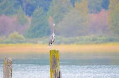 Heron at Grant Narrows (Neal D) Tags: bc pittmeadows grantnarrows piling bird heron greatblueheron ardeaherodius